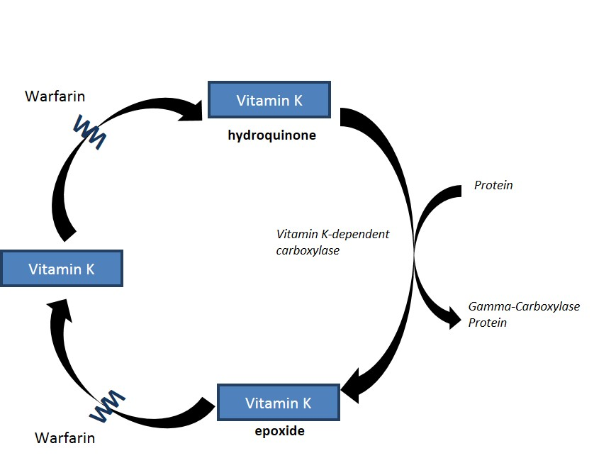 Recycling of vitamin K2 in the body
